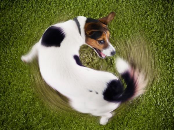 Η ιδεοψυχαναγκαστική διαταραχή στον σκύλο
