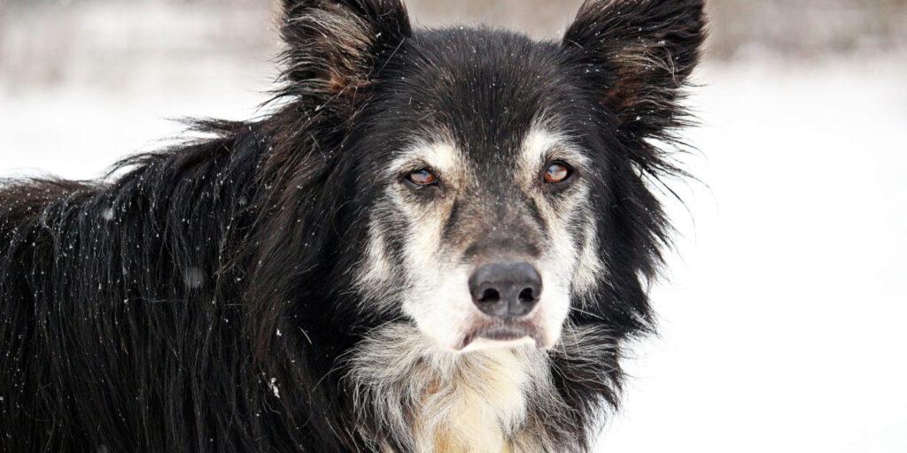 Η νόσος Αλτσχαϊμερ στον σκύλο